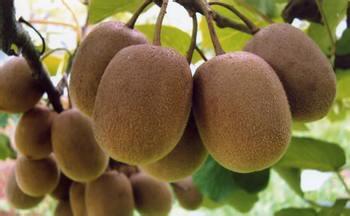道真县陈天权种植猕猴桃致富的创业故事