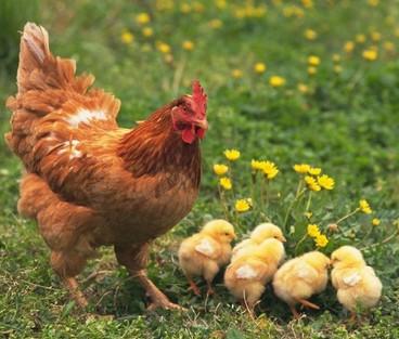 明仕亚洲娱乐开户_鸡的图片