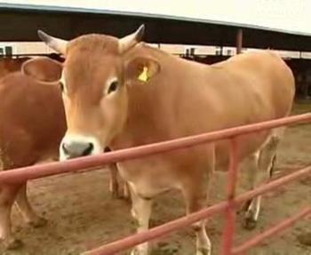 延边牛图片_黄牛的产地_黄牛的品种_特产专题_飞嘴网