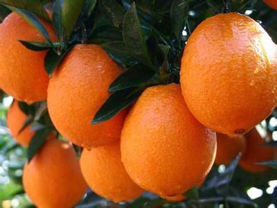 明仕亚洲娱乐开户_脐橙的图片