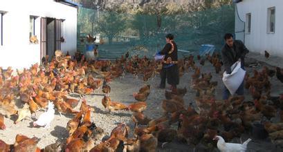 黑水凤尾鸡