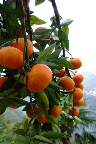 紫阳金钱橘