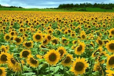 河套向日葵