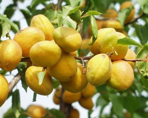 凌源大扁杏
