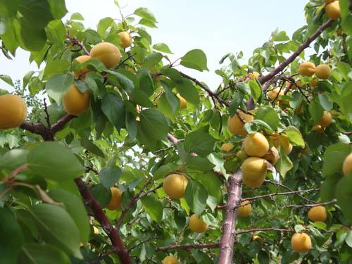 巨乐哈密杏
