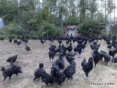 万源旧院黑鸡