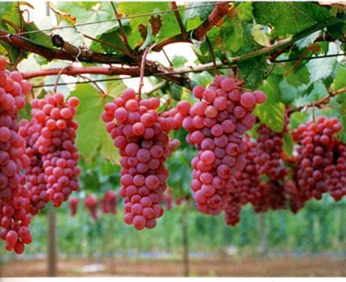 时集红提葡萄