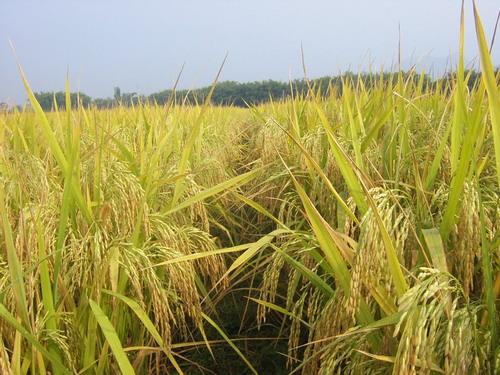 黄河口大米