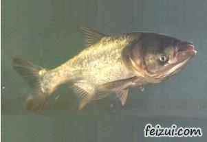南城洪门鳙鱼