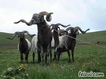 玛曲欧拉羊