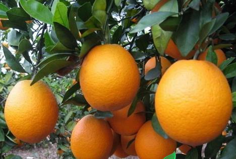 明仕亚洲_定南脐橙