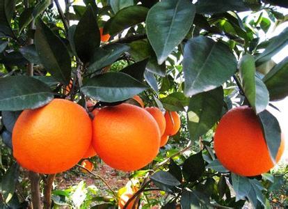 明仕亚洲国际备用网址_寻乌脐橙