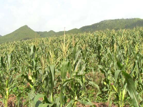 延寿粘玉米