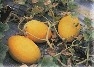 和田阿克恰勒甜瓜