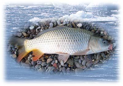 呼伦湖鲤鱼