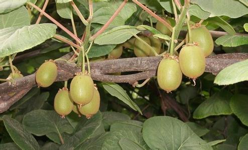 井冈山猕猴桃