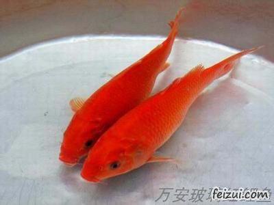 万安玻璃红鲤鱼