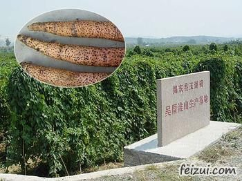 揭东吴厝淮山
