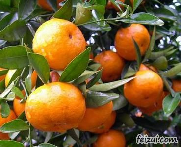 八岭山朱橘
