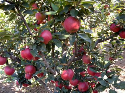 义县寒富苹果