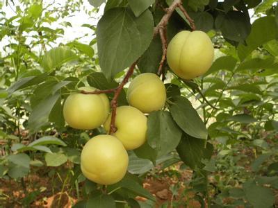 黑山银白杏