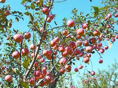 明仕亚洲_锦州苹果