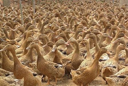 贾鲁河滩蛋鸭