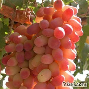 阿图什木纳格葡萄