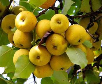 皋兰软儿梨