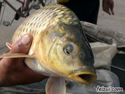 东阿黄河鲤鱼
