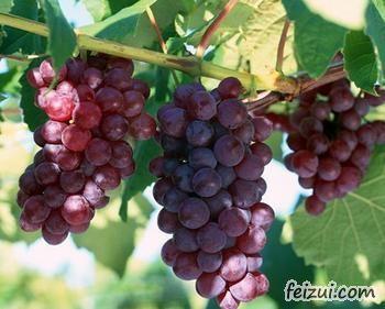 柳江鲁比葡萄