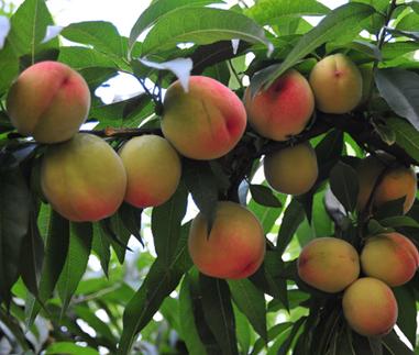 安农水蜜桃