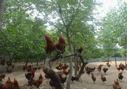 嵩县爬树鸡