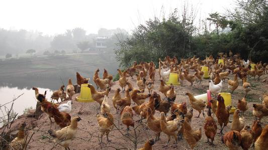 明仕亚洲_龙马乌鸡