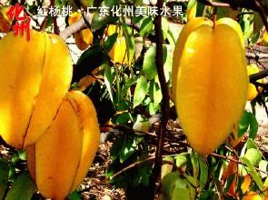 化州红杨桃