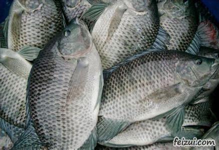茂名罗非鱼