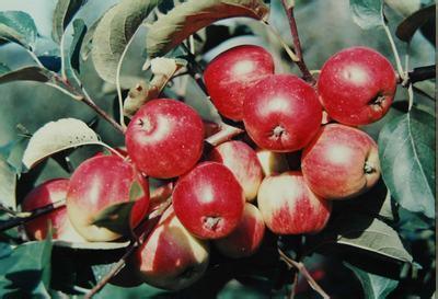 牡丹江金红苹果