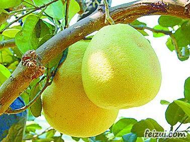 仙游度尾文旦柚