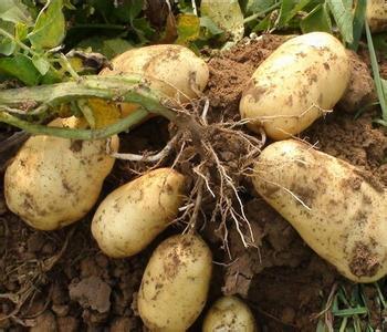 环县马铃薯