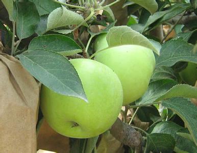新农村乡寒富苹果