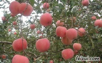 康平寒富苹果