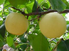 泗阳白酥梨
