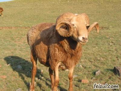 塔城巴什拜羊