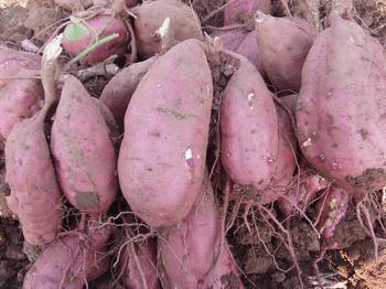 乌兰乌苏红薯