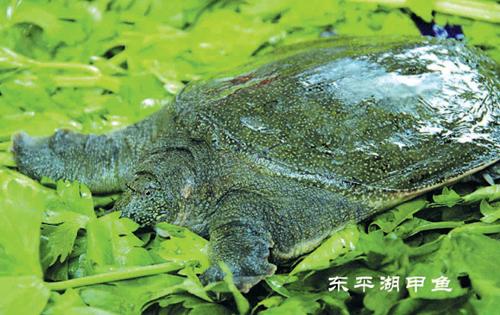 东平湖甲鱼