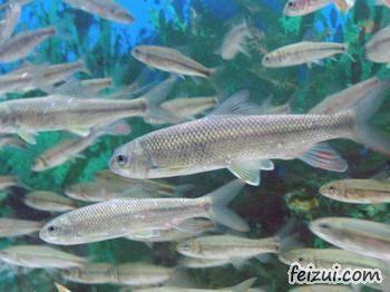 泰山赤鳞鱼