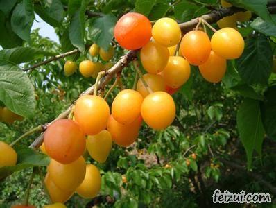 诸城黄樱桃