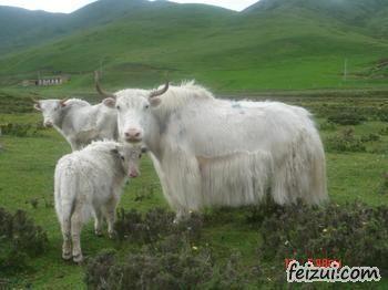 天祝白牦牛