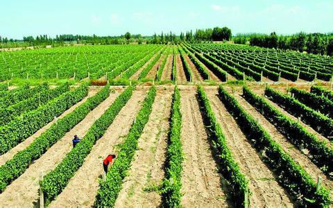 武威酿酒葡萄