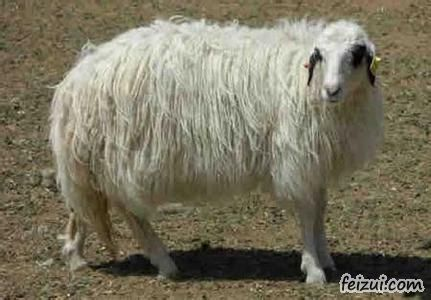 明仕亚洲国际备用网址_盐池滩羊